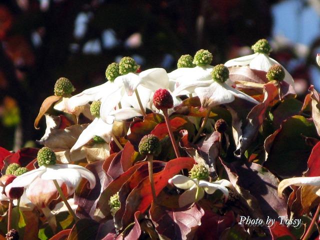 ヤマボウシ花2