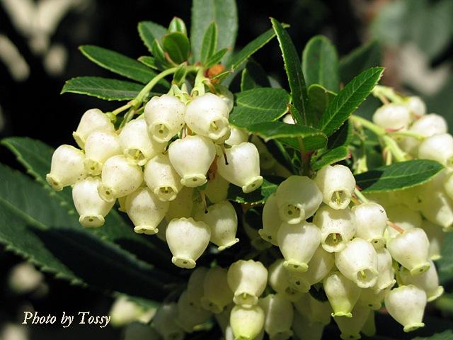 ストロベリーツリー1