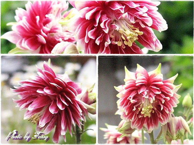 セイヨウオダマキ 八重咲きコラージュ