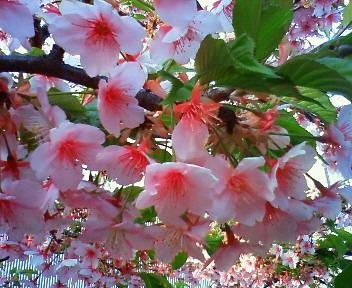 河津桜(川越)