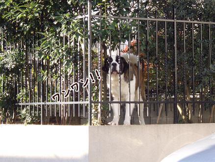 セントバーナード犬