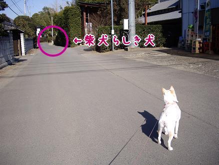 柴犬らしき犬発見!