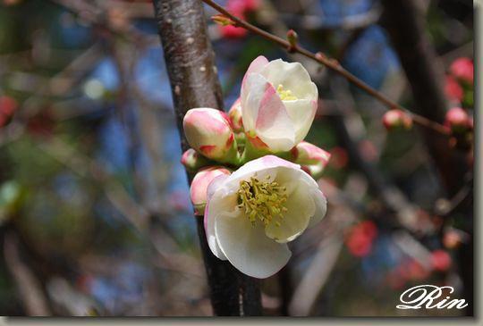 白いボケの花