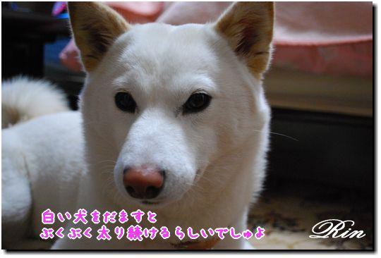 白い犬をだますと・・・