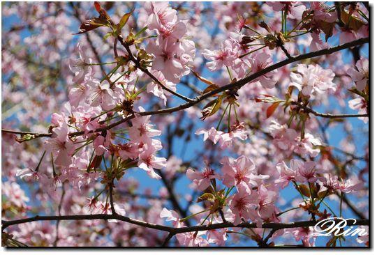 まだまだ頑張ってる桜もありました
