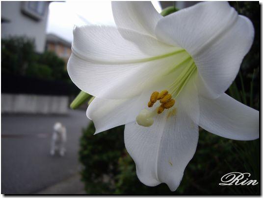 玄関に咲く百合の花