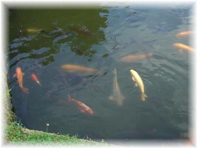 上杉神社 鯉