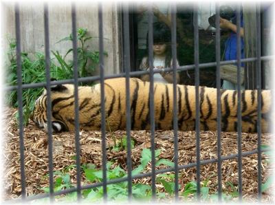 動物園 トラ