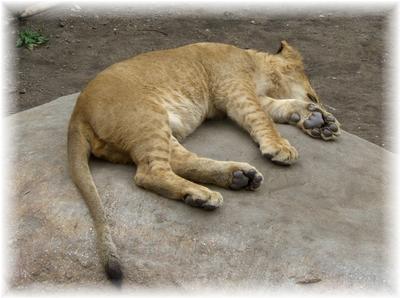 動物園 ライオン2