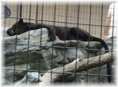 動物園 黒ひょう