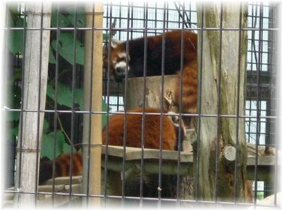 動物園 レッサーパンダ