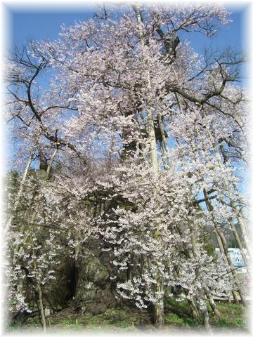 20090418 久保の桜