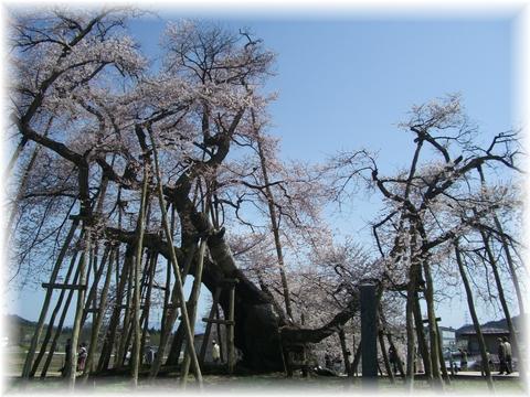 20090418 久保の桜 正面
