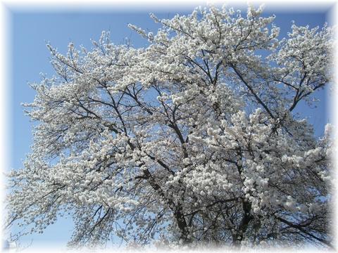 20090418 久保の桜 2