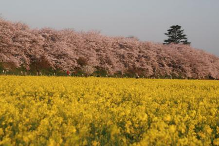 権現堂堤の桜