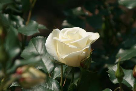 井頭公園のバラ