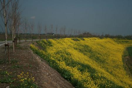 思川の菜の花