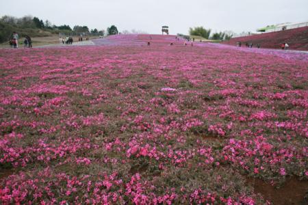 芝ざくら公園の開花状況
