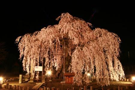 城山西小の孝子桜