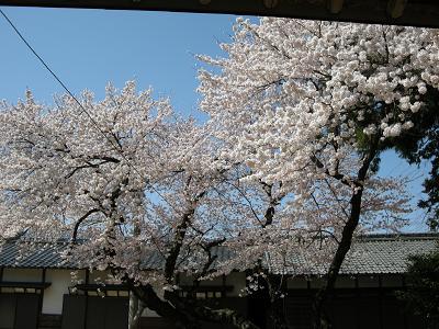 2009.4.9桜 022