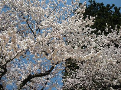 2009.4.9桜 007