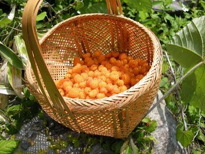 モミジイチゴ酵母 001