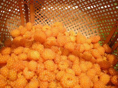 モミジイチゴ酵母 004