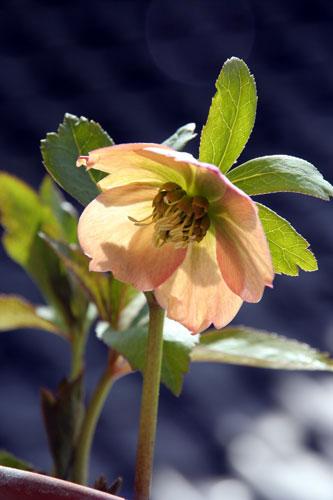 180325xmasrose_apricot04.jpg