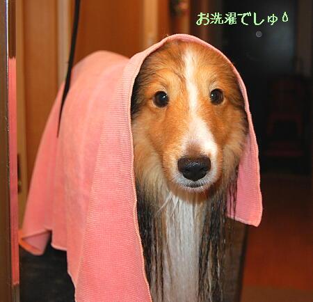 今回は新しいピンクのタオル