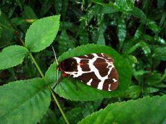 キリン柄の蝶発見