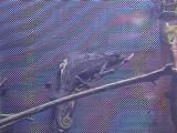 ツーストライプカメレオン2008年12月15日1