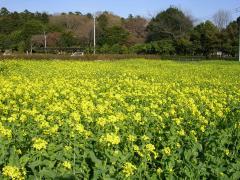 2009菜の花