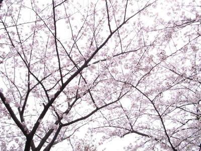 空がバックの桜って撮りにくい