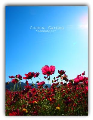 Cosmos Garden2