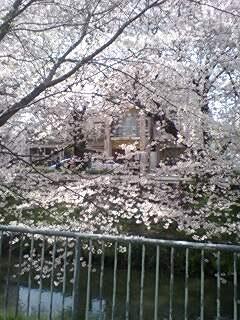 090405_1426~0002、流れの黒川ご用水の桜