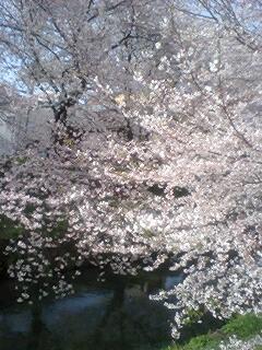 090405_1512~0001、黒川ご用水の桜