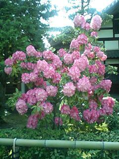 090418_1500~0001妙心寺衡梅院シャクナゲ