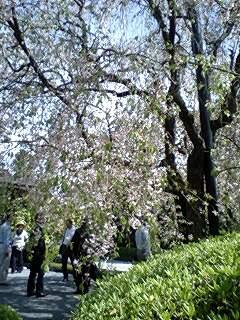 090418_1354~0002退蔵院しだれ桜