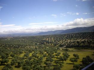 オリーブ畑の風景