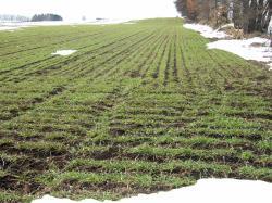 090328小麦畑