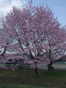 090506桜
