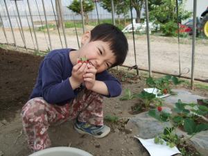 090610イチゴ収穫①