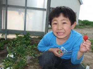 090610イチゴ収穫②