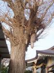 垂乳根公孫樹