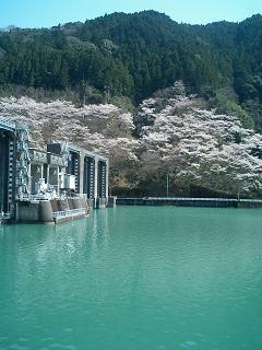 川口ダムの桜