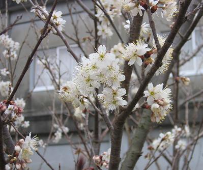 桜でしょう