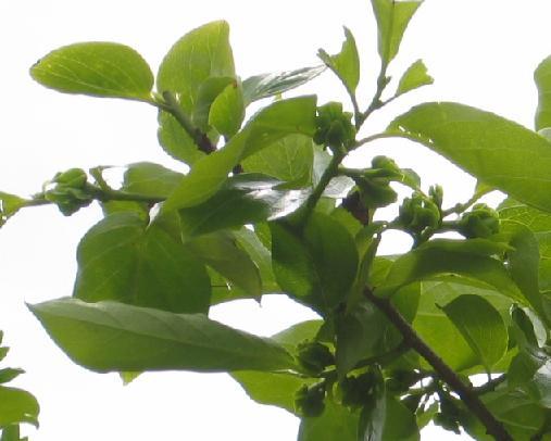 柿のつぼみ