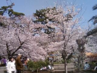 09夙川さくら1