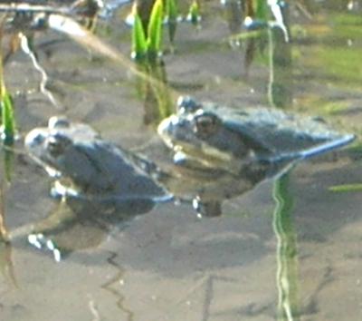 ヒキガエルのペア