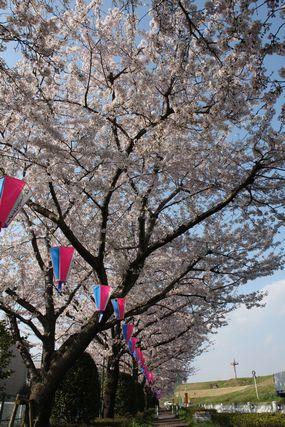 桜満開♪1